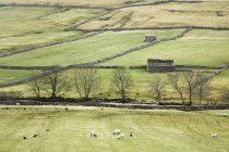 Sheep grazing in rural fields — Stock Photo
