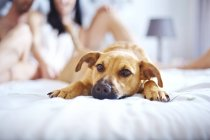 Lindo cão deitado na cama — Fotografia de Stock
