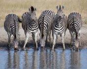 Пяти зебр в ряд на водопой — стоковое фото