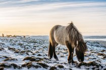 Wild horse grazing in snow covered landscape, Hofn, Iceland — Stock Photo