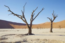Vista di alberi spogli, dune di sabbia e cielo blu nel deserto assolato — Foto stock