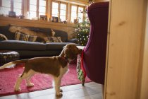 Niedlichen Hund mit Strumpf in Weihnachten Wohnzimmer — Stockfoto