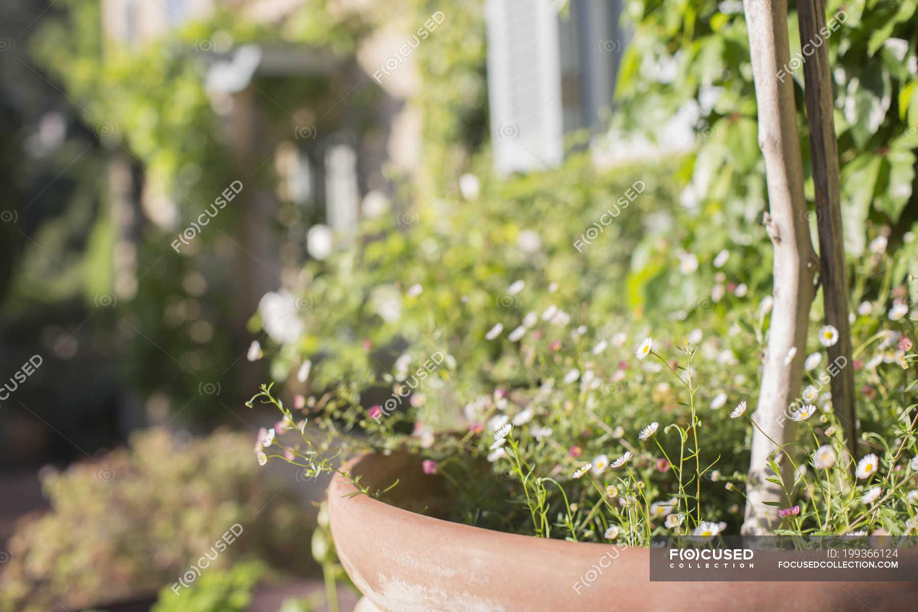 D licates fleurs en pot dans le jardin ensoleill photo for Fleurs dans le jardin