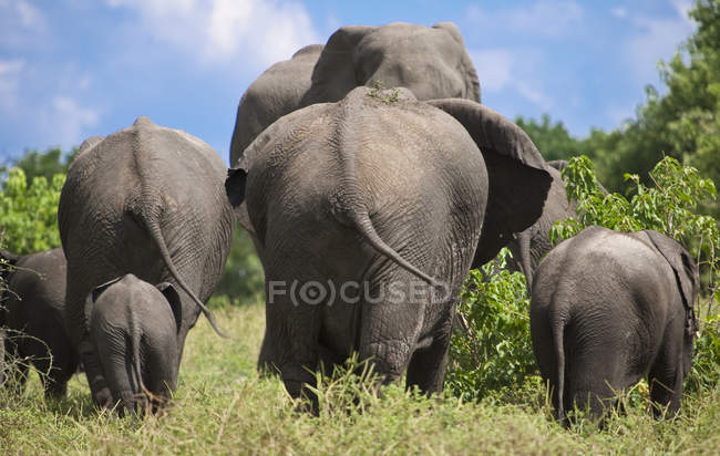 Rear view of elephants walking in national park — Stock Photo