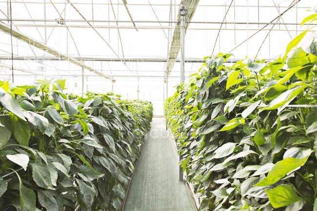 Plantes de tomates en serre pendant la journée — Photo de stock