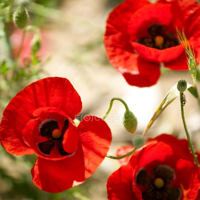 Закрыть красные розовые цветки — стоковое фото