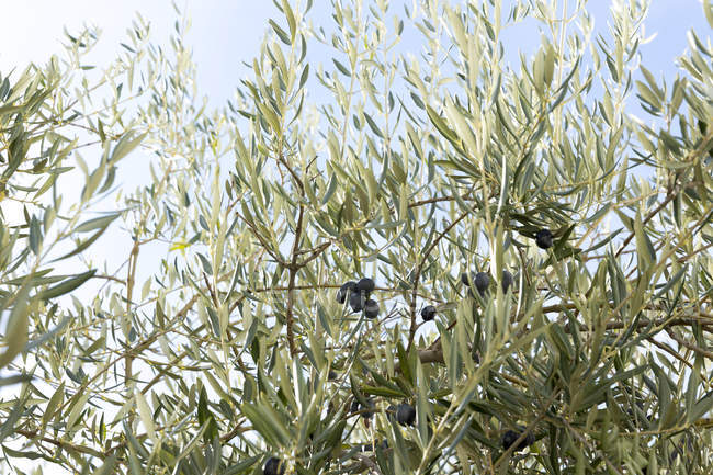 Close up of Olive tree during daytime — Stock Photo