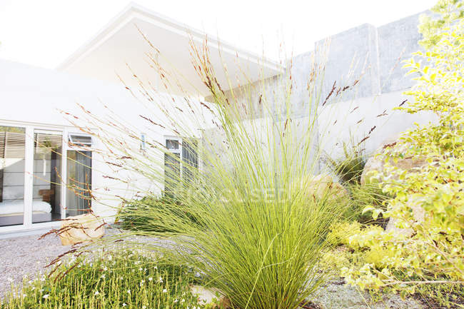 Close up of tall reeds in backyard landscaping — Stock Photo