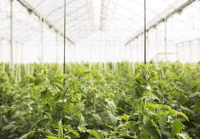 Plantas de tomate crescendo em estufa — Fotografia de Stock