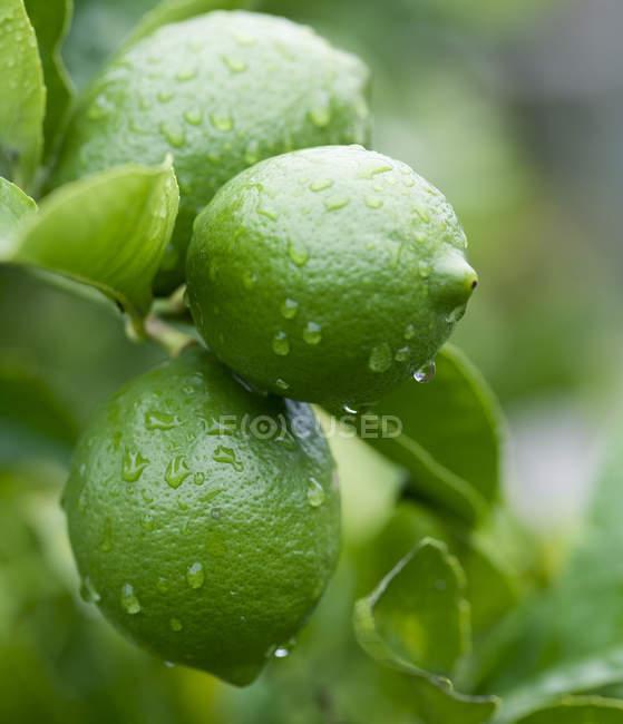 Gros plan de gouttelettes d'eau sur les citrons verts — Photo de stock