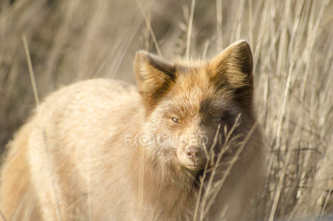 Red fox prowling in tall grass — Stock Photo