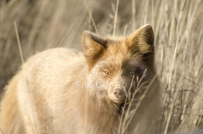 Volpe rossa che prowling nell'erba alta — Foto stock