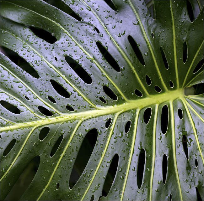 Water droplets on Swiss cheese plant leaf — Stock Photo