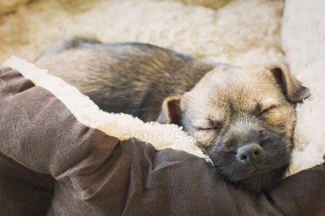Close up cane cucciolo addormentato nel letto del cane — Foto stock