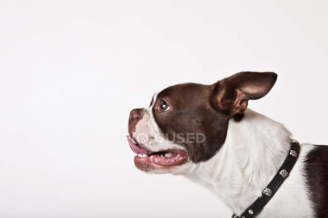 Close up de Boston terrier cara de cão — Fotografia de Stock