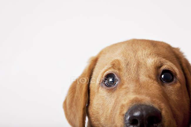 Close-up dos olhos do cão, sobre fundo branco — Fotografia de Stock