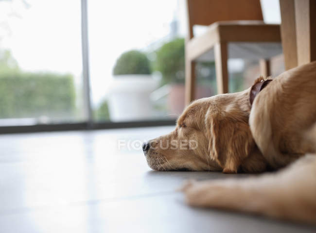 Dog laying on floor in living room — Stock Photo