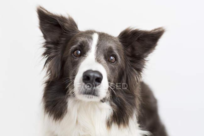 Nahaufnahme von Border Collie Hundegesicht — Stockfoto