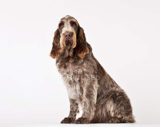 Spinone собака сидит на полу — стоковое фото