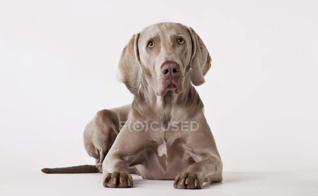 Weimaraner собака прокладки на підлозі — стокове фото