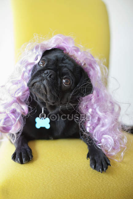 Pug Dog wearing colorful wig in chair — Stock Photo