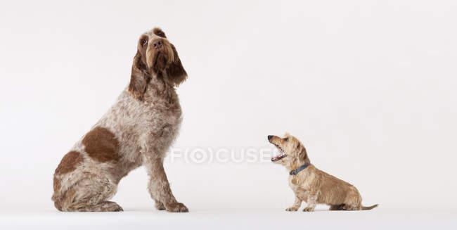 Dachschund pequeno cão latir para o cão de caça maior — Fotografia de Stock