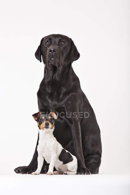 Pequeno e grande cachorro labrador preto jack russell cachorro sentados juntos — Fotografia de Stock