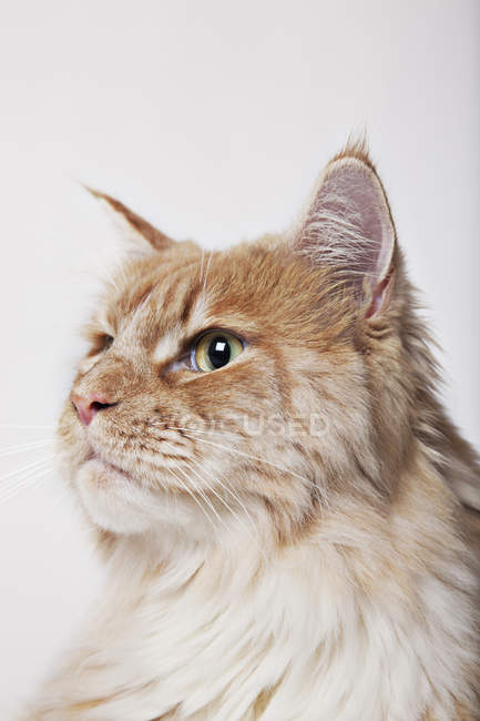 Close up of cat's face on white background — Stock Photo