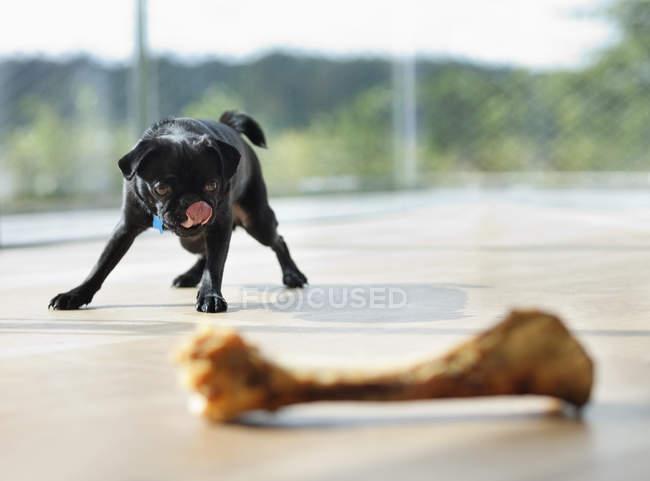 Mops-Hund leckt sich die Lippen am Knochen — Stockfoto