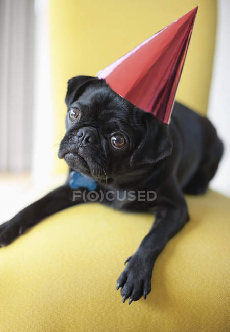 Pug Dog wearing party hat on chair — Stock Photo