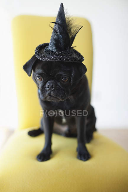 Pug Dog wearing witch's hat in chair — Stock Photo