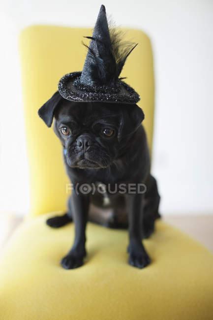 Pug cão vestindo chapéu de bruxa na cadeira — Fotografia de Stock