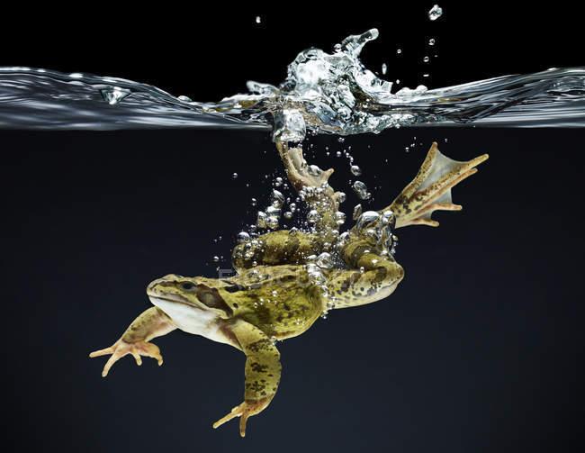 Лягушка, плавание под водой на темном фоне — стоковое фото