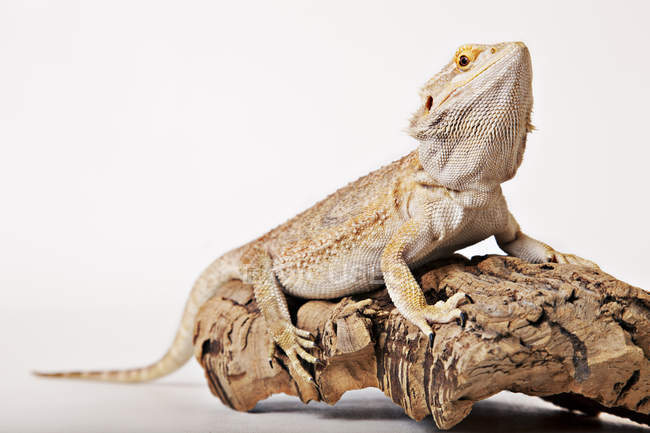 Lucertola strisciare sul log su sfondo bianco — Foto stock