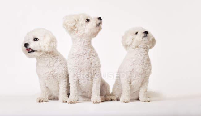 Идентичные бишонные фризские собаки сидят вместе — стоковое фото
