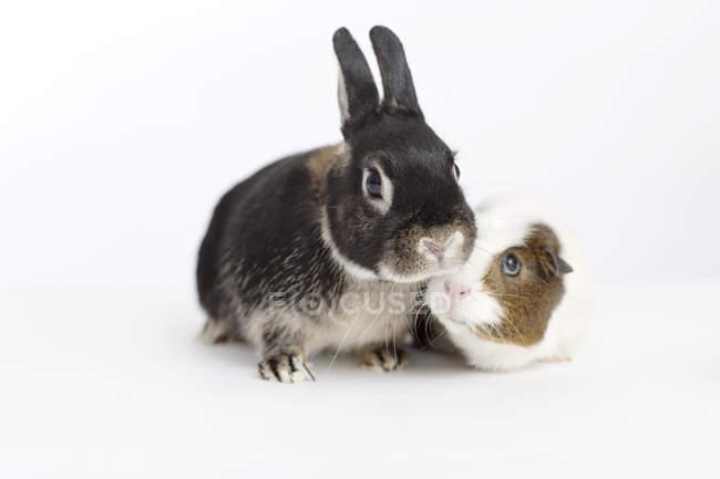 Кроликов и морских свинок совещание — стоковое фото