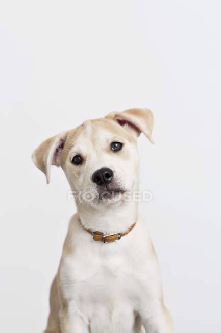 Близько від собачих упряжках хрест цікаво обличчя — стокове фото