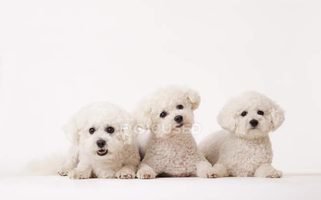 Bichon frise Perros idénticos tendidos juntos - foto de stock