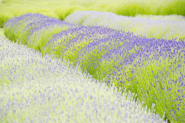 Lavender flowers growing in field  during daytime — Stock Photo