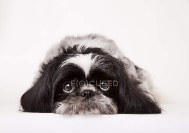 Nahaufnahme von Shih-tzu Hund trauriges Gesicht — Stockfoto