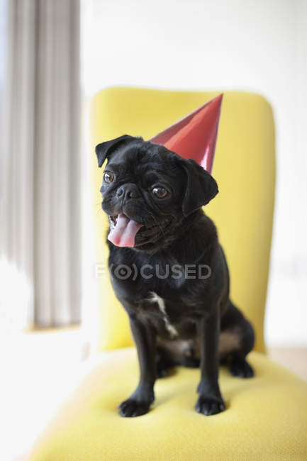 Panting pug dog wearing party hat on chair — Stock Photo