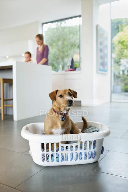 Cane seduto nel cesto della lavanderia in cucina — Foto stock