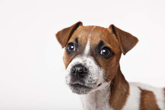 Close up of dog's face on white background — Stock Photo
