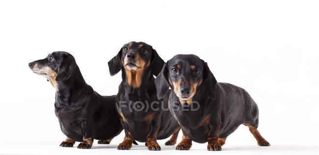 Идентичные собаки стоят вместе на белом фоне — стоковое фото