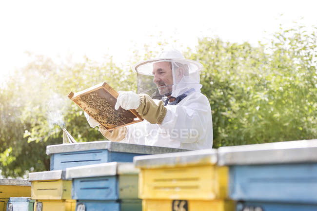 Beekeeper in protective suit examining bees on honeycomb — Stock Photo