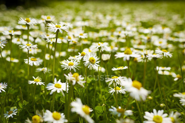 Close up of daisies in meadow — стоковое фото