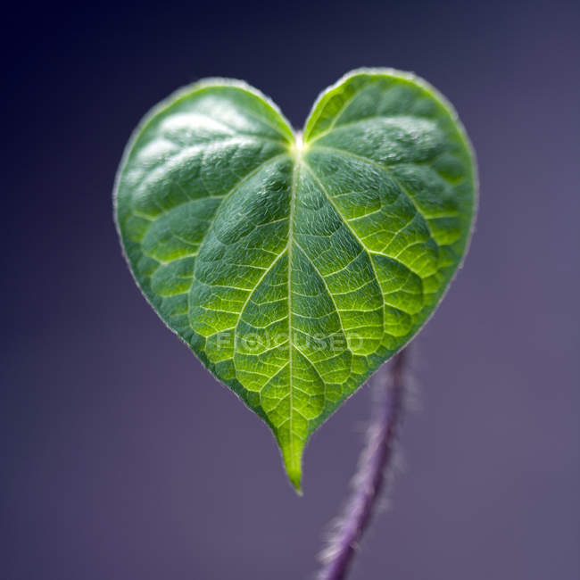 Extreme close up detail of green heart-shaped leaf against purple background — Stock Photo