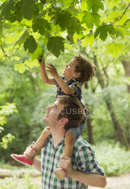 Father carrying son on shoulders reaching for tree leaves — Stock Photo