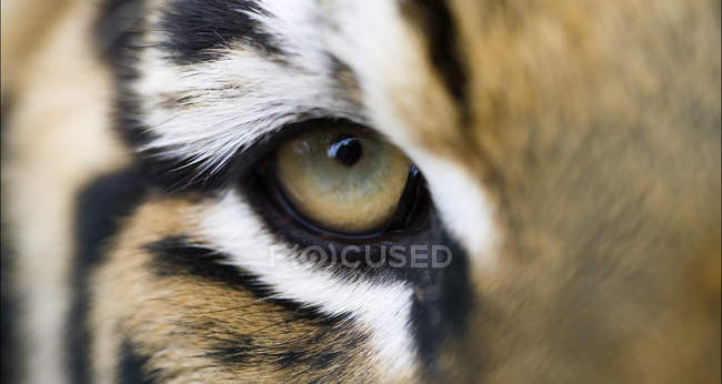 Full frame extreme close up of Bengal tiger eye and stripes — Stock Photo