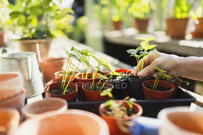 Woman potting plants in greenhouse — Stock Photo